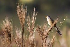 Σφήνα-παρακολουθημένο χλόη-Finch (herbicola Emberizoides) Στοκ Φωτογραφία