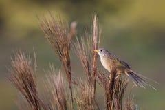 Σφήνα-παρακολουθημένο χλόη-Finch (herbicola Emberizoides) Στοκ φωτογραφία με δικαίωμα ελεύθερης χρήσης