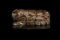 Σφαίρα ή βασιλικό φίδι python στο απομονωμένο μαύρο υπόβαθρο στοκ εικόνες