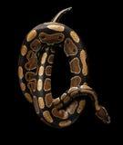Σφαίρα ή βασιλικό φίδι python στο απομονωμένο μαύρο υπόβαθρο στοκ εικόνα