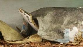 Σφαίρα αραχνών python Στοκ εικόνα με δικαίωμα ελεύθερης χρήσης