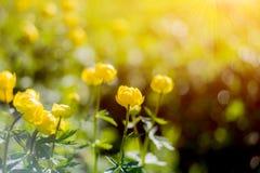 Σφαίρα-λουλούδι ή europaeus Trollius στον τομέα με την ηλιοφάνεια Στρογγυλά κίτρινα και φωτεινά λουλούδια στις ακτίνες ήλιων πρωι στοκ εικόνα με δικαίωμα ελεύθερης χρήσης