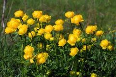 Σφαίρα-λουλούδια Στοκ Εικόνα