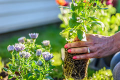 Σφαίρα ρίζας εκμετάλλευσης γυναικών της άνοιξη ετήσια και που φυτεύει στον κήπο Στοκ φωτογραφία με δικαίωμα ελεύθερης χρήσης