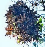 Σφαίρα συστάδων πεταλούδων μοναρχών Στοκ Φωτογραφίες
