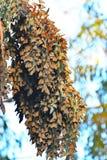 Σφαίρα συστάδων πεταλούδων μοναρχών Στοκ φωτογραφία με δικαίωμα ελεύθερης χρήσης