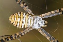 Σφαίρα-υφαίνοντας αράχνη (bruennichi Argiope) Στοκ Εικόνες