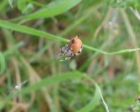 Σφαίρα-υφαντής τέσσερις-σημείων ή quadratus Araneus Στοκ Εικόνες