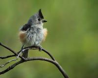 Σφαίρα φτερών (μαύρος-λοφιοφόρο Titmouse) Στοκ Εικόνα