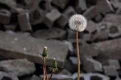 Σφαίρα χτυπήματος πικραλίδων μπροστά από τις πέτρες Στοκ Εικόνες