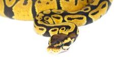 Σφαίρα Python στο άσπρο υπόβαθρο στοκ φωτογραφία