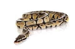 Σφαίρα python στο στούντιο στοκ εικόνες με δικαίωμα ελεύθερης χρήσης