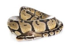 Σφαίρα python στο στούντιο στοκ φωτογραφίες με δικαίωμα ελεύθερης χρήσης