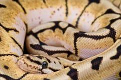 σφαίρα python Στοκ Φωτογραφίες