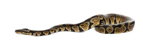 Σφαίρα Python στοκ φωτογραφία με δικαίωμα ελεύθερης χρήσης