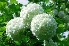 Σφαίρες των άσπρων λουλουδιών hydrangea Στοκ Εικόνες