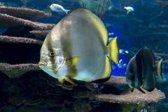Σφαιρικά orbicularis Platax batfish - ψάρια ωκεανών και θάλασσας Στοκ Εικόνες