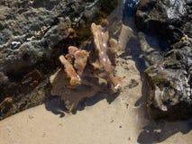 Σφουγγάρι θάλασσας στη λίμνη βράχου Στοκ Εικόνες