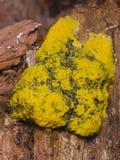 Σφουγγάρι-όπως τον πράσινο και κίτρινο μύκητα στην παλαιά ξύλινη μακρο, εκλεκτική εστίαση, ρηχό DOF στοκ φωτογραφία