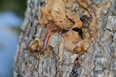 Σφρίγος δέντρων μάγκο Στοκ φωτογραφία με δικαίωμα ελεύθερης χρήσης