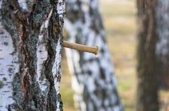 Σφρίγος σημύδων Στοκ Φωτογραφία