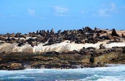 Σφραγίδα γουνών ακρωτηρίων στον κόλπο Hout στοκ εικόνα