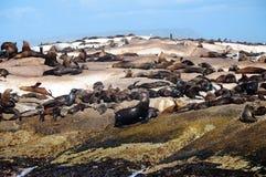 Σφραγίδα γουνών ακρωτηρίων στον κόλπο Hout στοκ εικόνες με δικαίωμα ελεύθερης χρήσης