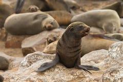 σφραγίδα γουνών ακρωτηρί&omega Στοκ εικόνες με δικαίωμα ελεύθερης χρήσης