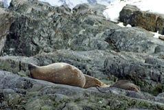 Σφραγίδα γουνών και σφραγίδα Weddell στους βράχους στην Ανταρκτική Στοκ φωτογραφία με δικαίωμα ελεύθερης χρήσης