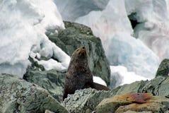 Σφραγίδα γουνών σε έναν βράχο στην Ανταρκτική Στοκ Φωτογραφίες