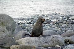 Σφραγίδα γουνών σε έναν βράχο στην παραλία Στοκ Φωτογραφίες