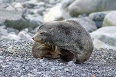 Σφραγίδα γουνών σε μια δύσκολη παραλία Στοκ Φωτογραφίες