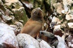 Σφραγίδα γουνών στα νησιά Ballestas, Paracas, Περού Στοκ Εικόνες