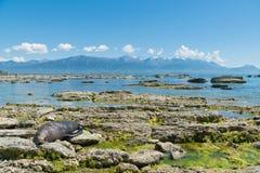 Σφραγίδα γουνών ύπνου seacoast Kaikoura με το υπόβαθρο βουνών Στοκ φωτογραφία με δικαίωμα ελεύθερης χρήσης
