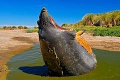 Σφραγίδα ελεφάντων με το ανοικτό ρύγχος Μεγάλο ζώο θάλασσας με το ανοικτό στόμα Σφραγίδα ελεφάντων που βρίσκεται στη λίμνη νερού, Στοκ φωτογραφία με δικαίωμα ελεύθερης χρήσης