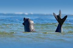 Σφραγίδα ελεφάντων, leonina Mirounga Σφραγίδα στο ωκεάνιο νερό Μεγάλο ζώο θάλασσας στο βιότοπο φύσης στις Νήσους Φώκλαντ Σφραγίδα Στοκ Φωτογραφίες