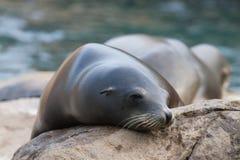 Σφραγίδα θάλασσας Στοκ Φωτογραφία