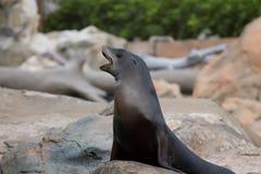 Σφραγίδα θάλασσας Στοκ Φωτογραφίες
