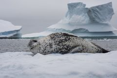 Σφραγίδα λεοπαρδάλεων που στηρίζεται σε έναν πάγο Στοκ φωτογραφία με δικαίωμα ελεύθερης χρήσης