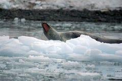 Σφραγίδα λεοπαρδάλεων σε ένα παγόβουνο Στοκ φωτογραφία με δικαίωμα ελεύθερης χρήσης
