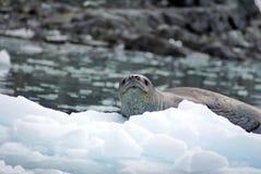 Σφραγίδα λεοπαρδάλεων σε ένα παγόβουνο Στοκ Φωτογραφία