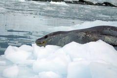 Σφραγίδα λεοπαρδάλεων σε ένα παγόβουνο Στοκ Εικόνες