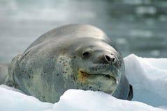 Σφραγίδα λεοπαρδάλεων σε ένα παγόβουνο Στοκ Εικόνα