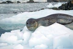 Σφραγίδα λεοπαρδάλεων σε ένα παγόβουνο Στοκ φωτογραφίες με δικαίωμα ελεύθερης χρήσης
