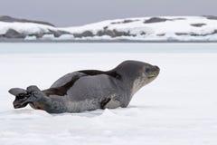 σφραγίδα πάγου ελεφάντων Στοκ Εικόνες