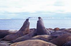 σφραγίδα πάλης ελεφάντων &ta Στοκ Φωτογραφία