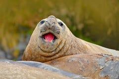 Σφραγίδα στην παραλία άμμου Σφραγίδα ελεφάντων με τη φλούδα από το δέρμα Μεγάλο ζώο θάλασσας στο βιότοπο φύσης στις Νήσους Φώκλαν Στοκ φωτογραφία με δικαίωμα ελεύθερης χρήσης