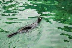 Σφραγίδα Το θηλαστικό ή η σφραγίδα κολυμπά Ζώο ή ένα άγριο ζώο στο νερό στοκ εικόνες