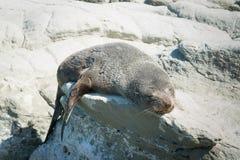 Σφραγίδα ύπνου στην παραλία βράχου Στοκ φωτογραφία με δικαίωμα ελεύθερης χρήσης