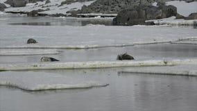 Σφραγίδα Weddell που βάζει στον πάγο απόθεμα βίντεο